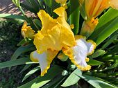 Close Up, Cropped Shot Of Yellow And White Asiatic Lily Flowers poster