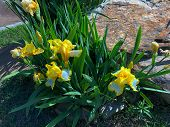 Wide Shot Of Yellow And White Asiatic Lily Flowers By A Roadside poster