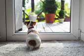 Jack russel terrier puppy sitting near door on white carped on the floor. Small perky dog. Animal pe poster