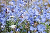 Wild Blue Flowers In Trend Color, Classic Blue. Blue Flowers Close Up, Natural Background For New 20 poster