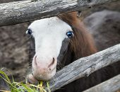 Cute little foal pony with blue eyes eating a grass poster