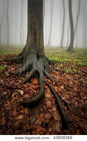 Tree with big roots in a forest with fog after rain