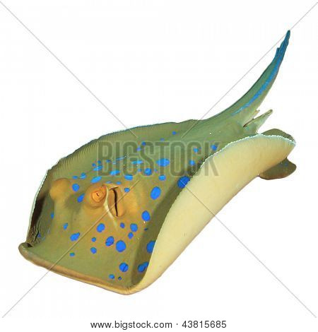 Blue spotted Stingray isolated on white background