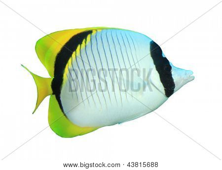 Tropical Fish isolated on white background: Lined Butterflyfish