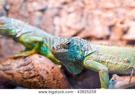 Color lizard