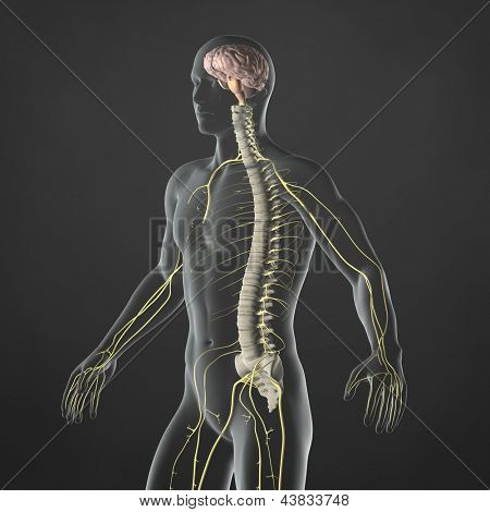 An Illustration of a man's anatomy showing the sympathetic nervous system in an x-ray style.