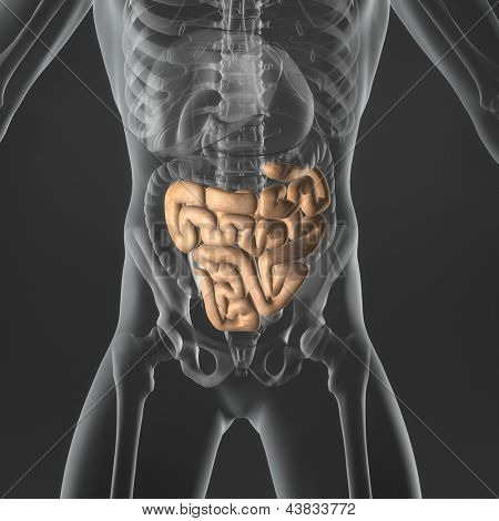 An Illustration of a man's anatomy showing the small intestine in an x-ray style