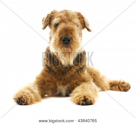 pureblooded dog Airedale  looking straight isolated on white background