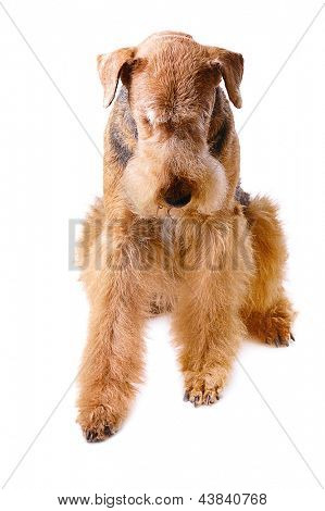 pureblooded dog Airedale looking down, isolated on white background
