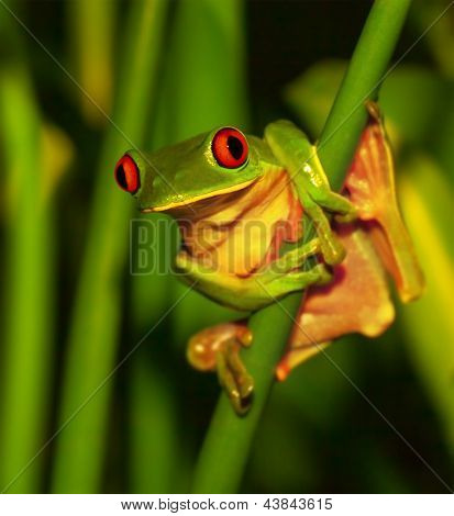 Little green frog with red eyes sitting on exotic plant, wild nature of Costa Rica, Central America, sticky red-eyed toad in the park of rain forest