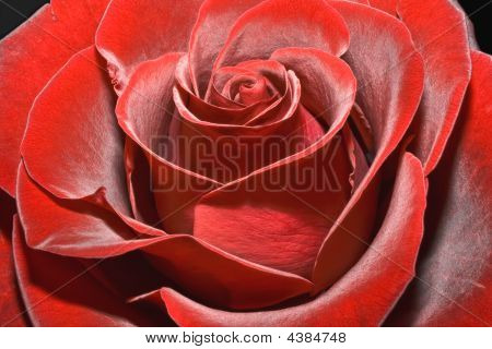 Magnificent Red Rose