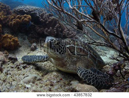 Sea turtle (Chelonioidea) having a rest on a bottom among corals