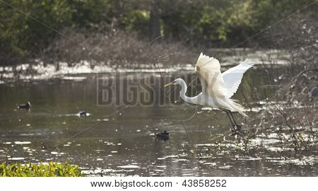 snowy egret in breeding plumage flying with nesting material