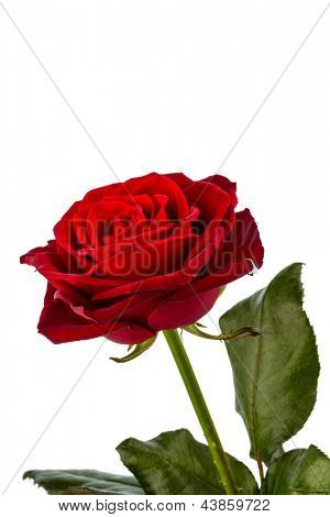 a red rose against white background. symbolic photo for beauty, love, valentine's day
