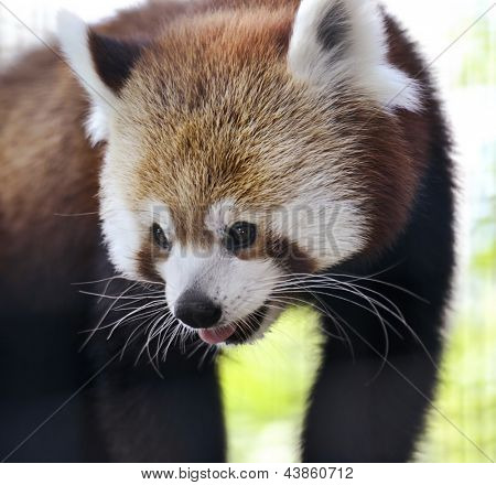 Red Panda Portrait,Close Up