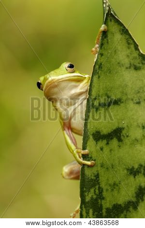 Green Tree Frog (hyla Cinerea)