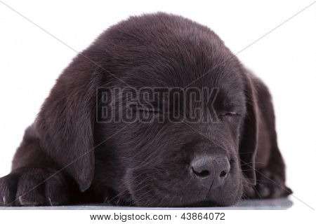 the cutest black labrador retriever puppy dog sleeping on the floor
