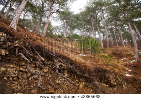 hill in the coniferous forest