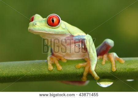 Red-eyed tree frog (Agalychnis callidryas) on a stem