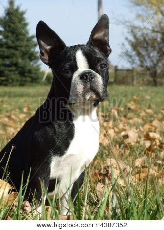 Boston Terrier In Yard