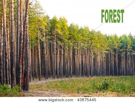 Scots Pine (Pinus sylvestris) forest with white background. Renewable energy concept. Picture with place for your text.