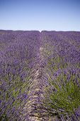 image of lavender field  - A U Pick Lavender farm in the Pacific Northwest - JPG