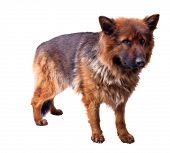 picture of german-sheperd  - portrait of german sheperd on white background - JPG