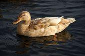 Goldie Duck poster
