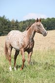 stock photo of appaloosa  - Portrait of nice appaloosa mare on pasturage in summer
