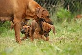 stock photo of bitches  - Rhodesian ridgeback bitch educating young puppy while other puppy is looking - JPG