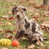 pic of catahoula  - Louisiana Catahoula puppy with pumpkins in Autumn - JPG