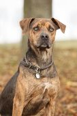 stock photo of catahoula  - Nice brown Louisiana Catahoula dog sitting in Autumn - JPG