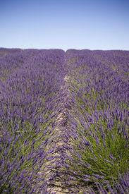 picture of lavender field  - A U Pick Lavender farm in the Pacific Northwest - JPG