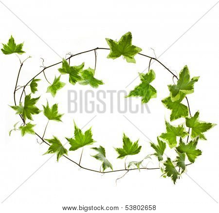 Border frame of Green ivy plant Hedera helix close up isolated on white background