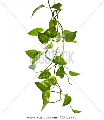 plant epipremnum scindapsus close up isolated on white background