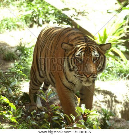 Young Tiger Approaching