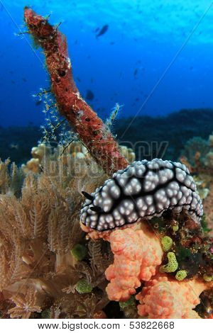 Wart Slug (nudibranch species) on coral reef underwater