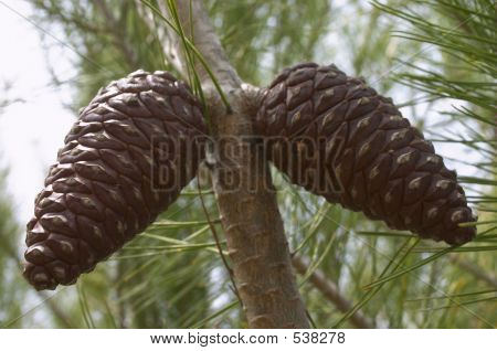 Twin Pinecone