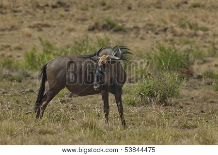 African blue wildebeest (gnu)