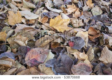 texture background of fall leaves on the ground, mostly maple, asian pear and cottonwood tree - low angle view