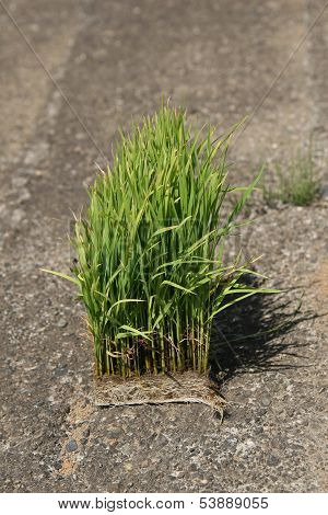 rice green