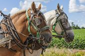 stock photo of horse plowing  - An unmatched team of draft horses in harness on the farm - JPG
