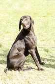 stock photo of pointed ears  - A young beautiful liver brown German Shorthaired Pointer dog sitting on the grass The German Short-haired Pointing Dog has long floppy ears and muzzle and is used for hunting