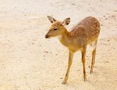 stock photo of bambi  - Female roe deer - JPG