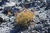 picture of obsidian  - Small plant surviving in pile of volcanic obsidian - JPG
