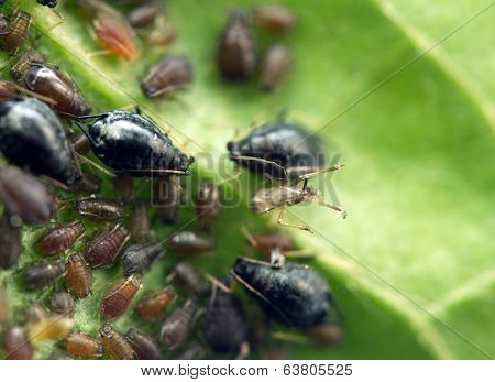Aphid On A  Leaf . Macro. Extreme Closeup