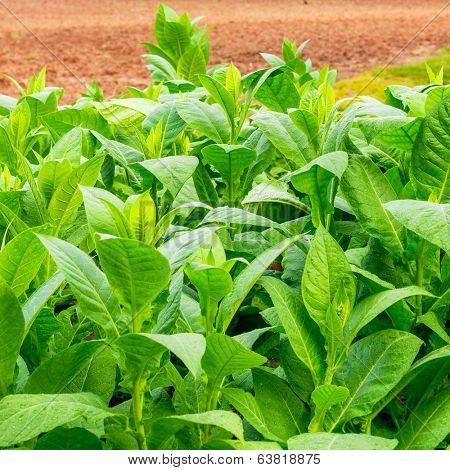 Tobacco plantation at the Vinales Valley in Cuba
