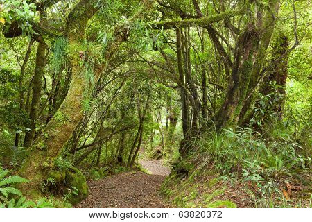 Pathway through rainforest , Te Urewera National Park, North Island, New Zealand