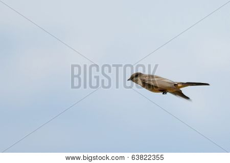 Say's Phoebe Flying