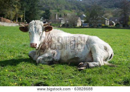 Cow Sunbathing